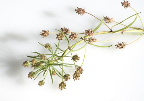 planta naturala pentru a arde grasime îndepărtați celulele grase din corp