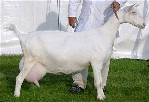 motive pentru pierderea în greutate în capre