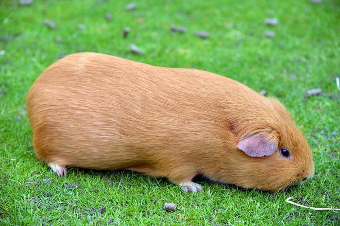 cum să pierdeți greutatea pe animalele de companie pakka)