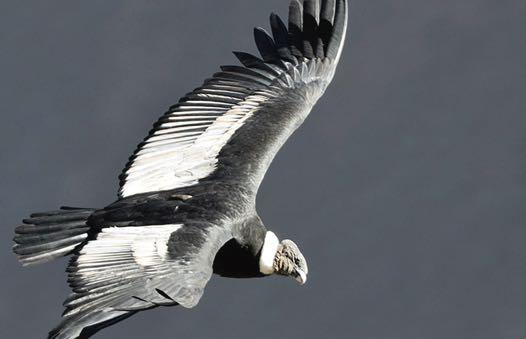 vulturul pierdere în greutate supremă