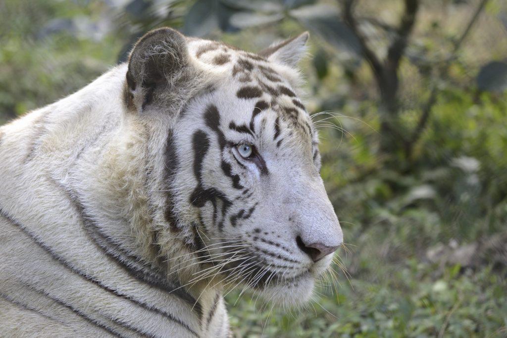 pierderea în greutate tigru