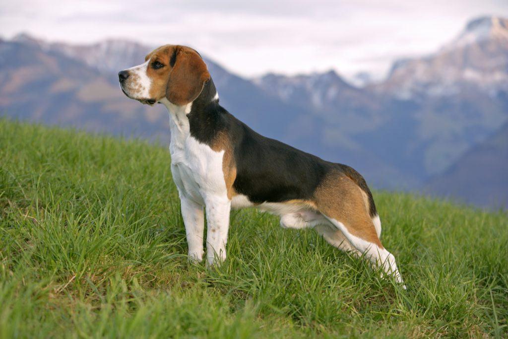 Rasa de caine Beagle | Cainele nostru