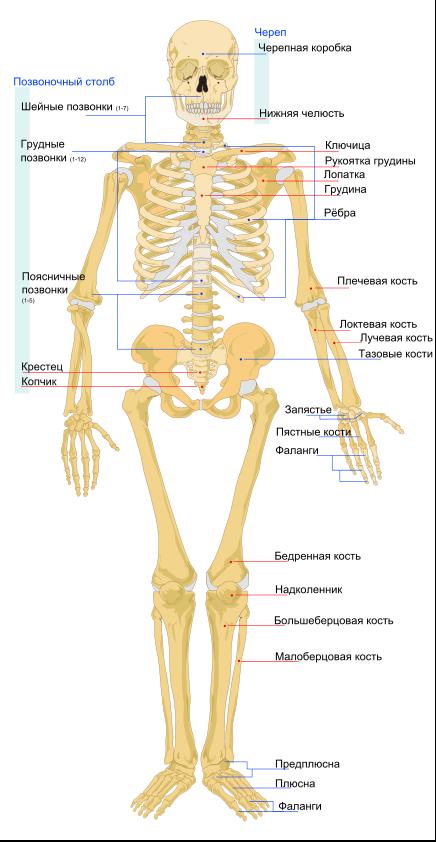 scădere în greutate a scheletului dos și nu pentru pierderea în greutate