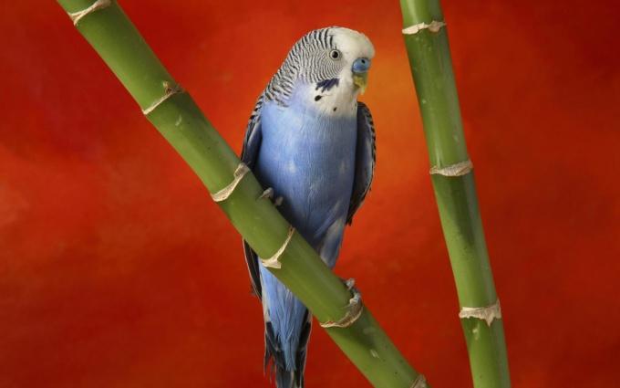 Papagal nimfă - Wikipedia