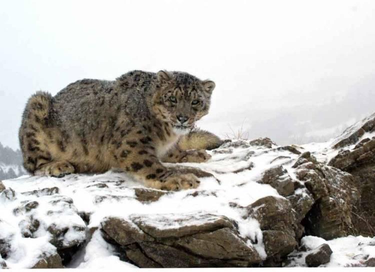 pierderea în greutate a leopardului