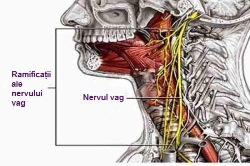 Nervul vag, cel care face conexiunea dintre minte și corp