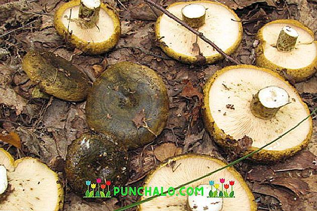 ciuperci shiitake pentru pierderea în greutate