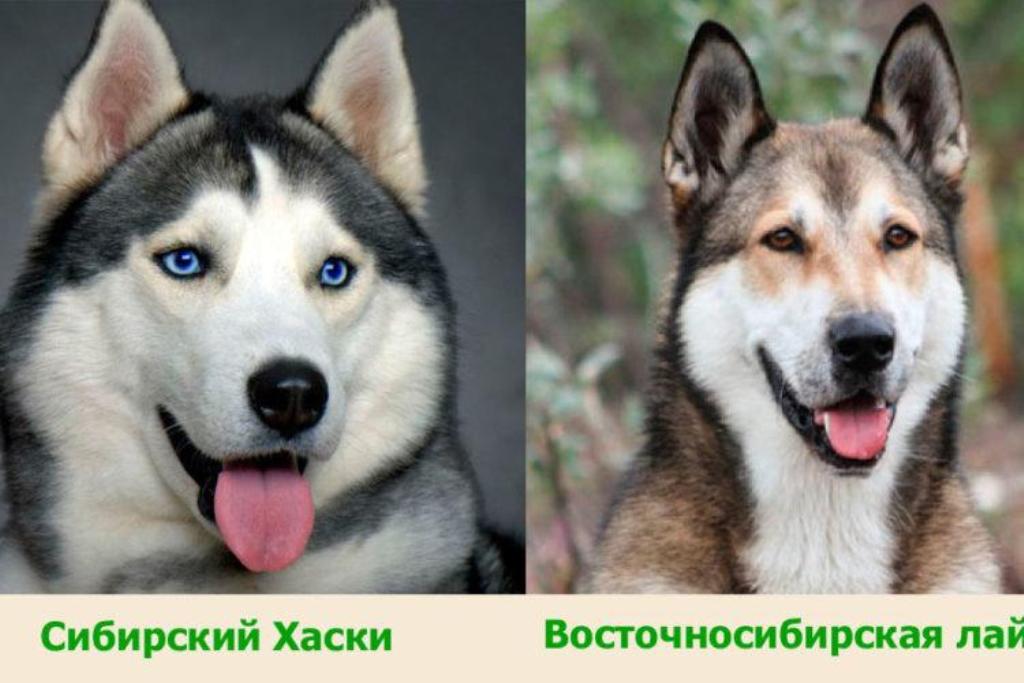pierderea în greutate în husky siberian)
